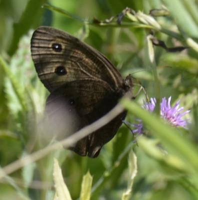 Photo of Common Wood Nymph on Knapweed or Thistle on NaturalCrooksDotCom