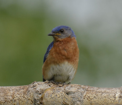 Photo of Eastern Bluebird Male Left On NaturalCrooksDotCom