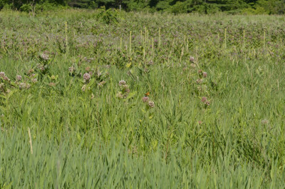 Photo of Fritillary in Field on NaturalCrooksDotCom