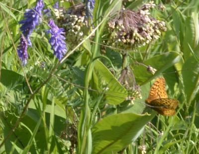 Photo of Fritillary on Milkweed on NaturalCrooksDotCom