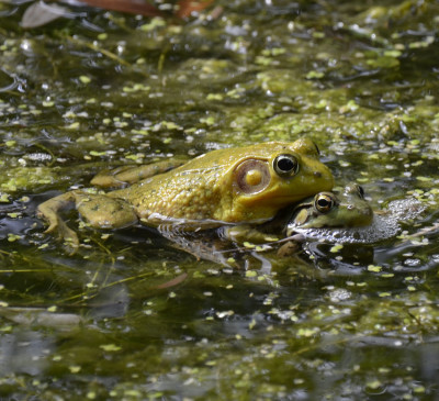 Photo of Green Frog Pair on NaturalCrooksDotCom