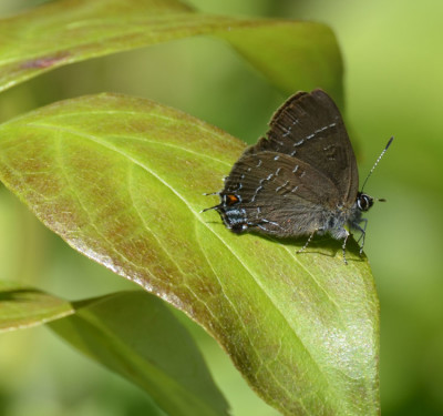 Photo of Hairstreak Probably Banded On NaturalCrooksDotCom