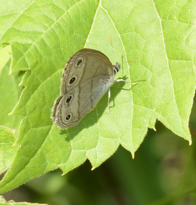 Photo of Little Wood Satyr on Grape Leaf on NaturalCrooksDotCom