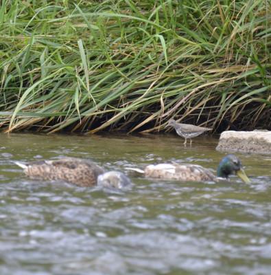 Photo of Mallards and Spotted Sandpiper Credit River on NaturalCrooksDotCom