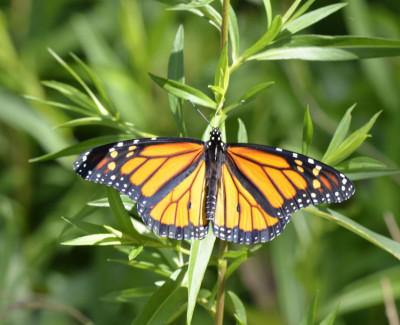 Photo of Monarch Male On Goldenrod on NaturalCrooksDotCom