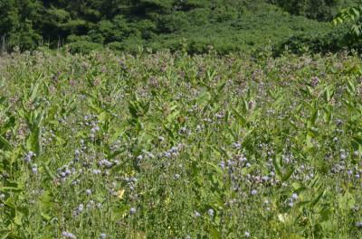 Photo of Monarch Which Milkweed to Pick On NaturalCrooksDotCom