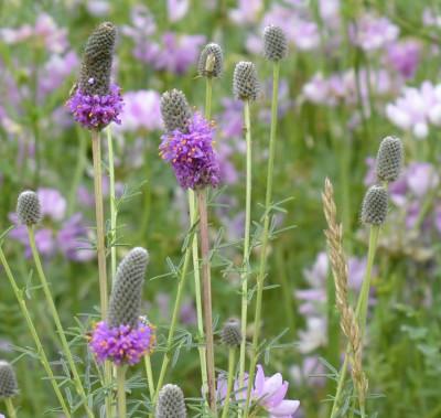 Photo of Purple Prairie Clover in Crown Vetch on NaturalCrooksDotCom