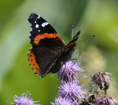 Photo of Red Admiral Knapweed or Thistle on NaturalCrooksDotCom