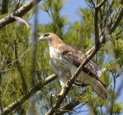 Photo of Red Tailed Hawk Blurred Gnatcatcher On NaturalCrooksDotCom