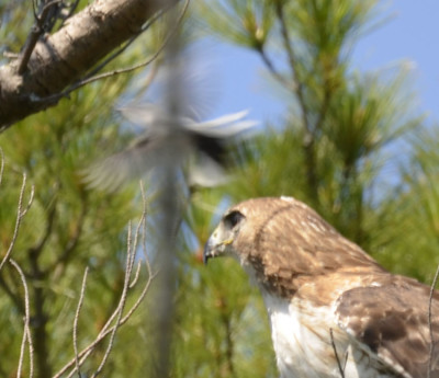 Photo of Red Tailed Hawk Gnatcatcher Bomb on NaturalCrooksDotCom