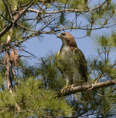 Photo of Red Tailed Hawk Pine Perched On NaturalCrooksDotCom