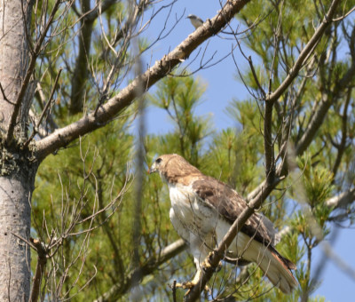 Photo of Red Tailed Hawk and Blue Gray Gnatcatcher Perched on NaturalCrooksDotCom
