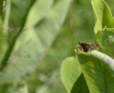Photo of Skipper Milkweed on NaturalCrooksDotCom