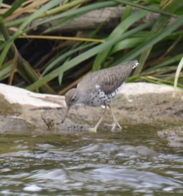 Photo of Spotted Sandpiper Credit River July On NaturalCrooksDotCom