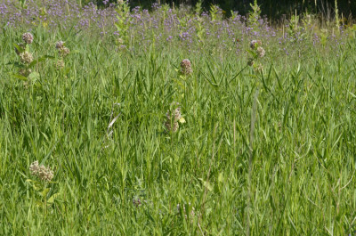 Photo of Sulphur in Meadow on NaturalCrooksDotCom