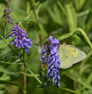 Photo of Sulphur on Purple Vetch on NaturalCrooksDotCom