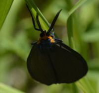 Photo of Virginia Ctenucha Black Phase on NaturalCrooksDotCom