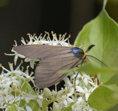 Photo of Virginia Ctenucha Moth Antenna on NaturalCrooksDotCom