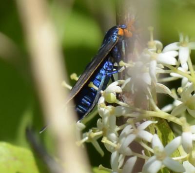 Photo of Virginia Ctenucha Moth Blue Body On NaturalCrooksDotCom