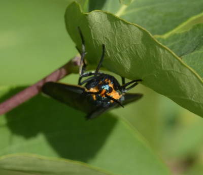 Photo of Virginia Ctenucha Moth Head On on NaturalCrooksDotCom