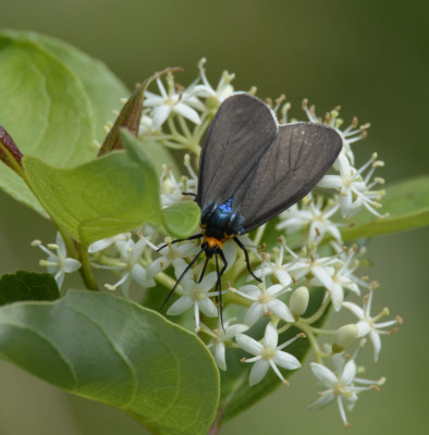 Photo of Virginia Ctenucha Moth Nectar on NaturalCrooksDotCom