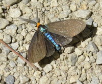 Photo of Virginia Ctenucha on Gravel On NaturalCrooksDotCom
