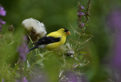 Photo of American Goldfinch Framed Purple on NaturalCrooksDotCom