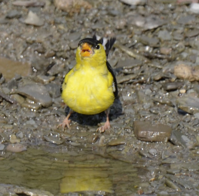 Photo of American Goldfinch Sipping Water on NaturalCrooksDotCom