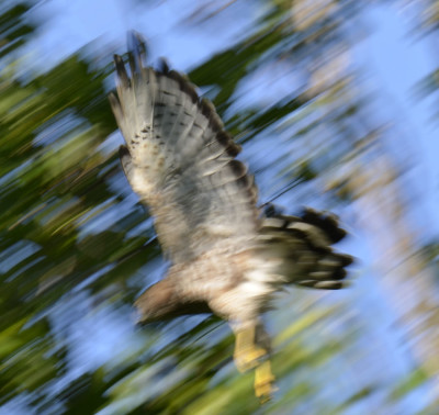 Photo of Broad Winged Hawk Flight On NaturalCrooksDotCom