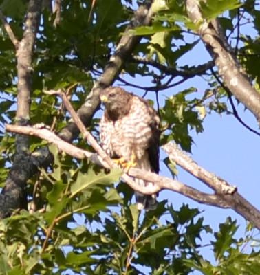 Photo of Broad Winged Hawk Front On NaturalCrooksDotCom