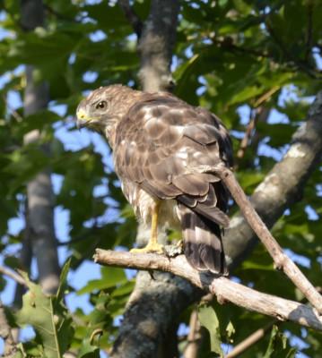 Photo of Broad Winged Hawk Left Profile On NaturalCrooksDotCom