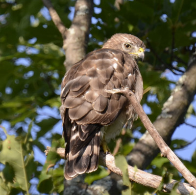 Photo of Broad Winged Hawk Over Back Look On NaturalCrooksDotCom