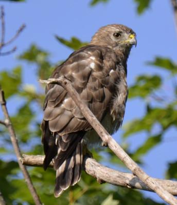 Photo of Broad Winged Hawk Right Profile On NaturalCrooksDotCom