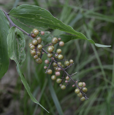 Photo of False Solomons Seal Berries Golden on NaturalCrooksDotCom