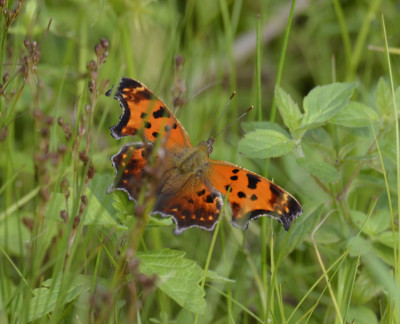 Photo of Fresh Comma on NaturalCrooksDotCom