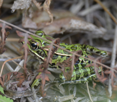 Photo of Leopard Frog Leaves on NaturalCrooksDotCom