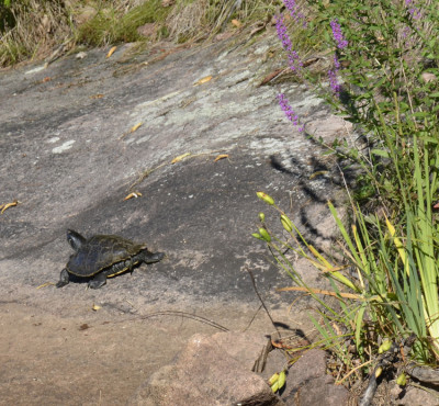 Photo of Map Turtle Sunning on Rock on NaturalCrooksDotCom