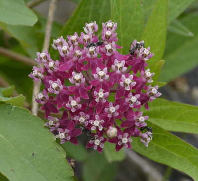 Photo of Milkweed and Pollinators Near Lake On NaturalCrooksDotCom