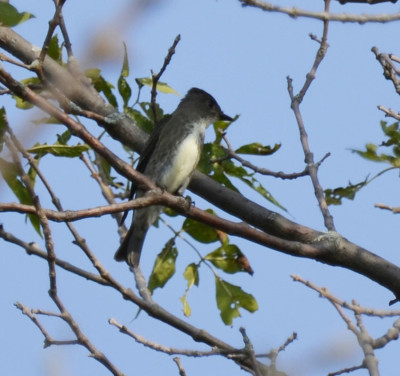 Photo of Olive Sided Flycatcher On NaturalCrooksDotCom
