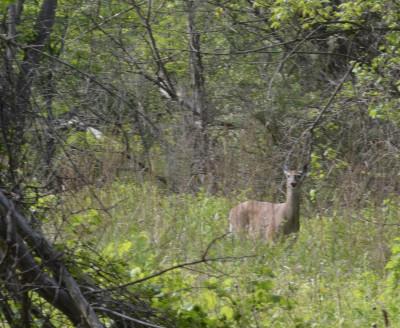 Photo of White Tailed Deer Riverwood on NaturalCrooksDotCom