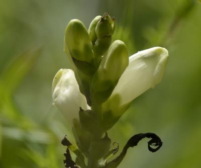 Photo of White Turtlehead C on NaturalCrooksDotCom
