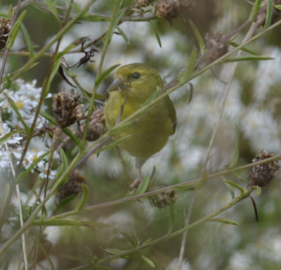 Photo of American Goldfinch Drab on NaturalCrooksDotCom