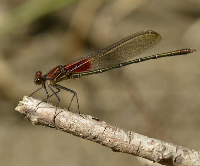 Photo of American Rubyspot Credit River Erindale Park from NaturalCrooksDotCom