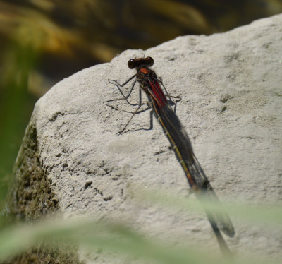 Photo of American Rubyspot On Rock On NaturalCrooksDotCom