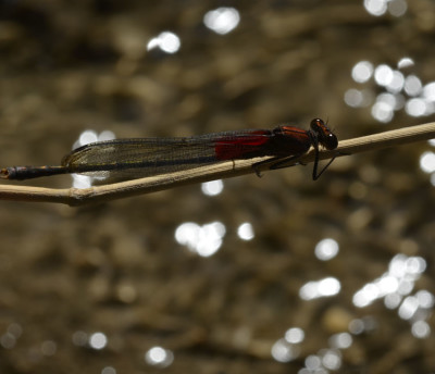 Photo of American Rubyspot Sparkles from NaturalCrooksDotCom