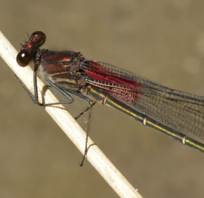 Photo of American Rubyspot twig 2 from NaturalCrooksDotCom