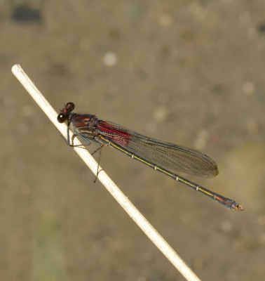 Photo of American Rubyspot twig from NaturalCrooksDotCom