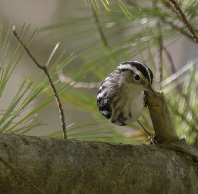 Photo of Black and White Warbler White Pine On NaturalCrooksDotCom