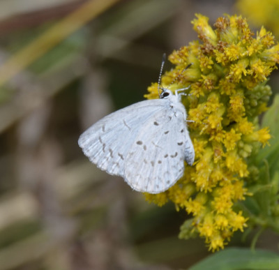 Photo of Blue Butterfly on Goldenrod on NaturalCrooksDotCom