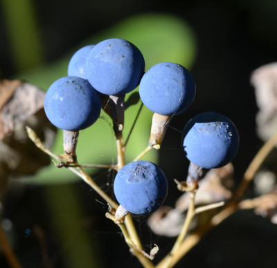 Photo of Blue Cohosh Berries Large Group on NaturalCrooksDotCom